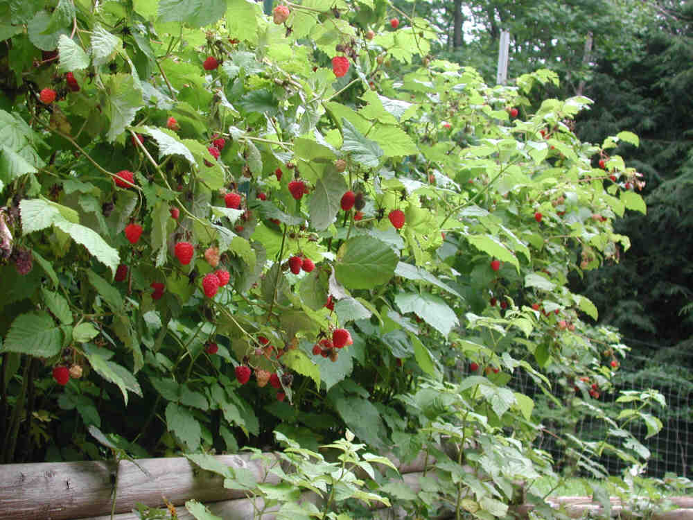 delightful berry garden Part - 3: delightful berry garden awesome design